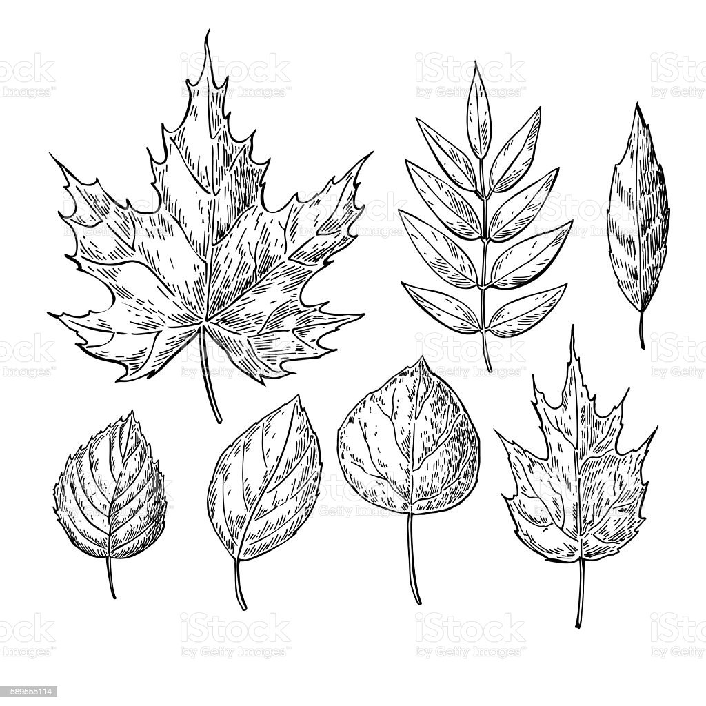 Uncategorized Drawn Leaf vector autumn drawing leaves set isolated objects hand drawn d royalty free stock