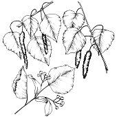 Vector autumn leaves. Leaf plant botanical garden floral foliage. Isolated illustration element. Vector leaf for background, texture, wrapper pattern, frame or border.