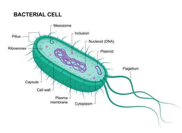 vektor-bakterienzellanatomie isoliert auf weißem hintergrund. pädagogische illustration. struktur der prokaryotischen - prokaryont stock-grafiken, -clipart, -cartoons und -symbole