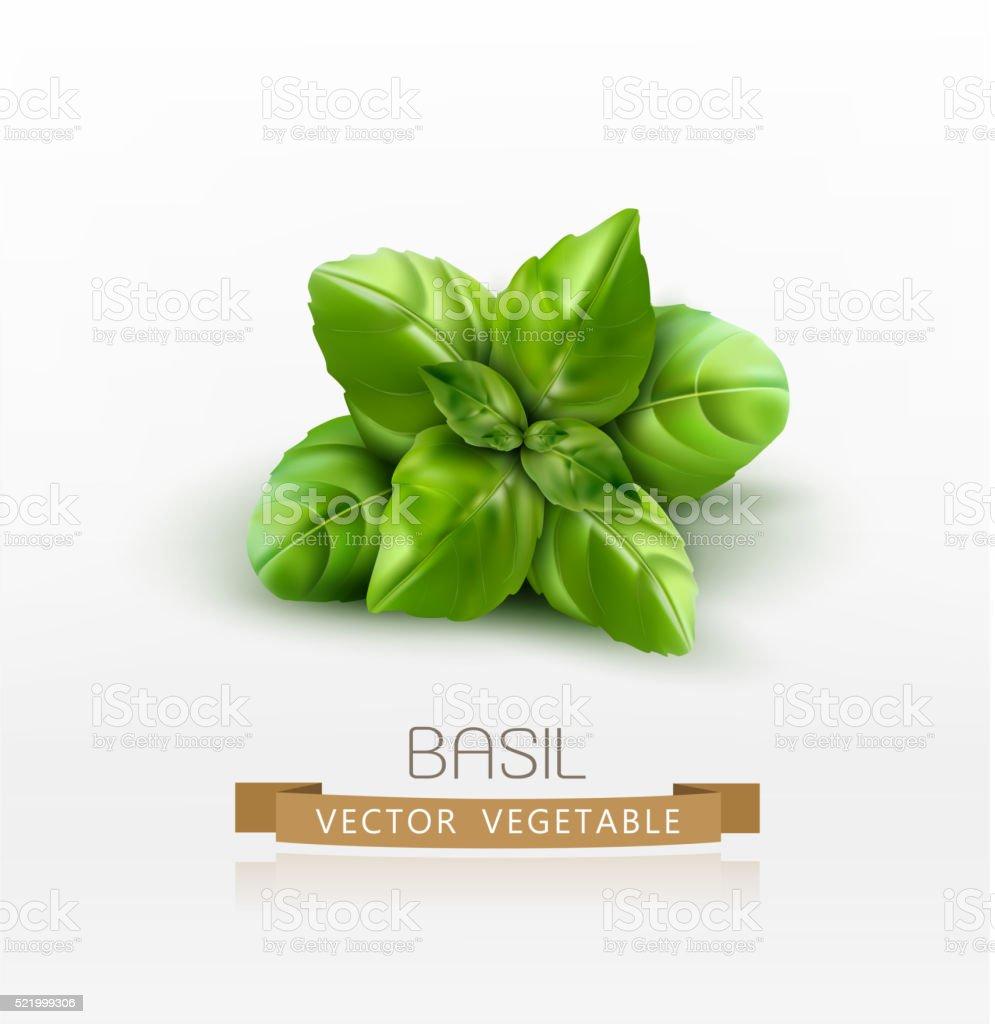 Vector basil leaves isolated on white background vector art illustration