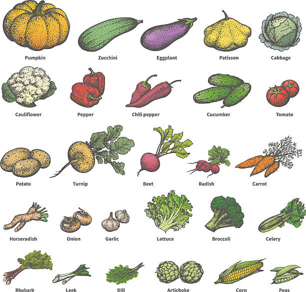 Vector big set different colored ripe vegetables Vector illustration of a big set of different colored ripe vegetables with names. On an isolated white background. Drawing hand-drawn sketch doodle. Vintage retro style. The concept of dietetic foods. radish stock illustrations