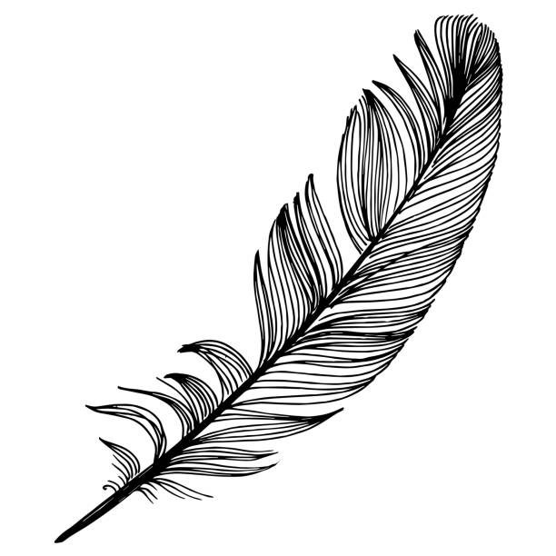 Vector bird feather from wing isolated. Black and white engraved ink art. Isolated feather illustration element. Vector bird feather from wing isolated. Black and white engraved ink art. Isolated feather illustration element on white background. close up stock illustrations