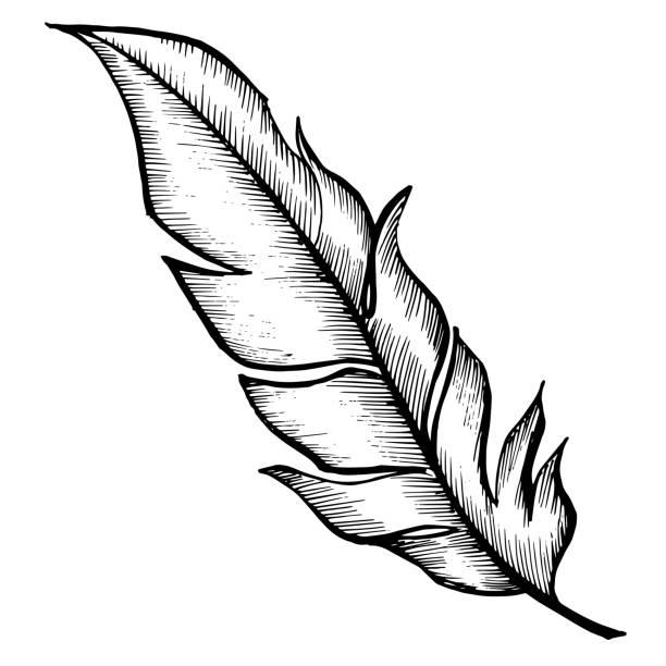 stockillustraties, clipart, cartoons en iconen met vector vogel veren van vleugel geïsoleerd. zwart-wit gegraveerd ink art. geïsoleerde veren illustratie element. - stekels