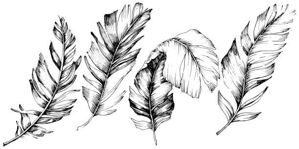 stockillustraties, clipart, cartoons en iconen met vector vogel veren van vleugel geïsoleerd. geïsoleerd illustratie element. zwart-wit gegraveerd ink art. - stekels