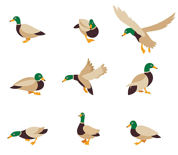 Vector bird icon collection. Cartoon caricature domestic duck and cartoon duck comic happy animal. Vector bird icon collection. Vector illustration in a flat style isolated on white background. duck bird stock illustrations