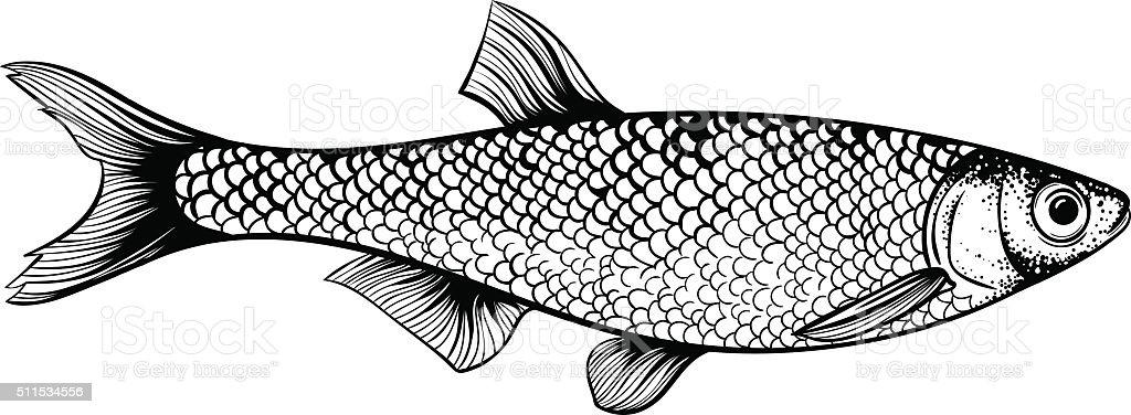 килька рыба фото