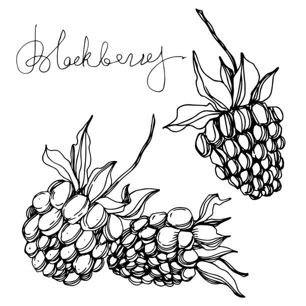 illustrazioni stock, clip art, cartoni animati e icone di tendenza di cibo sano vector blackberry. arte dell'inchiostro inciso in bianco e nero. elemento illustrazione di bacche isolato. - pranzo natale