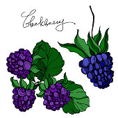Vector Blackberry healthy food. Black and white engraved ink art. Isolated berry illustration element on white background.