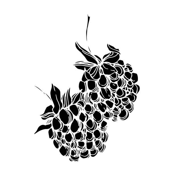 ilustrações de stock, clip art, desenhos animados e ícones de vector blackberry healthy food. black and white engraved ink art. isolated berry illustration element. - natureza close up