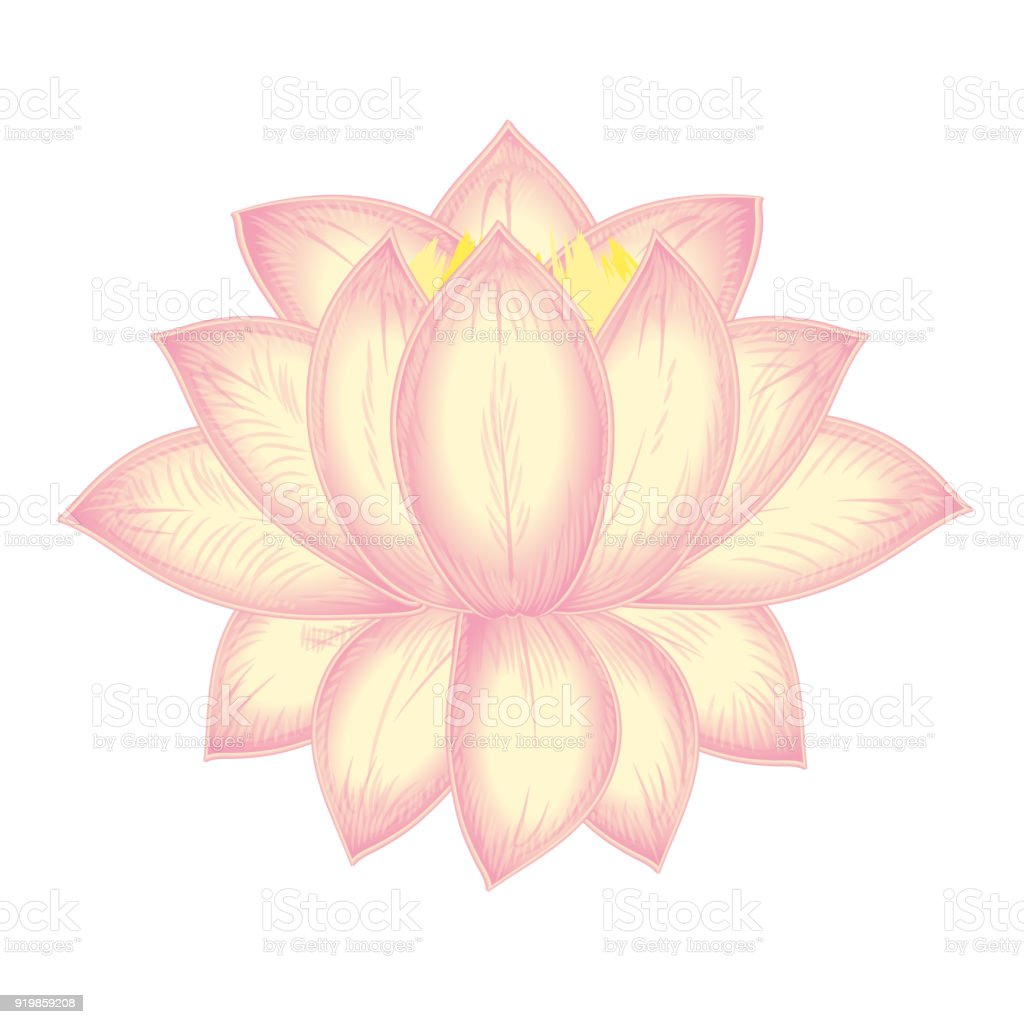 Vector Blooming Lotus Flower Water Lily Light Pink On White