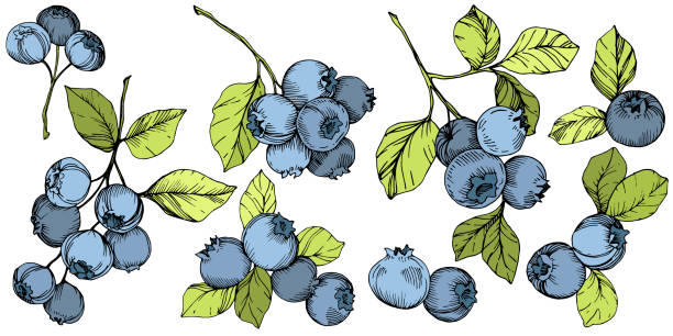 Vector Blueberry green and blue engraved ink art. Berries and green leaves. Isolated blueberry illustration element. Vector Blueberry gree and blue engraved ink art. Berries and green leaves. Leaf plant botanical garden floral foliage. Isolated blueberry illustration element. blue silhouettes stock illustrations