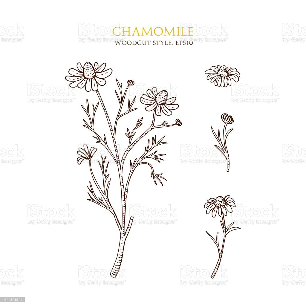 Vector botanical illustration of chamomile on white background. Hand drawn vector art illustration