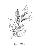 Vector Botanical illustration of the leafs Laurus Nobilis. Isolated illustration element. Black and white engraved ink art. Vector branch for packaging, texture, wrapper pattern, frame or border.