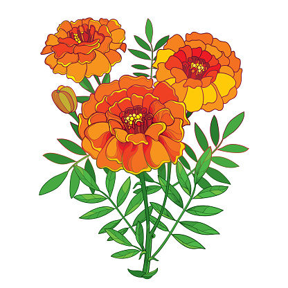 オレンジ色のマリーゴールドやマリーゴールドの花芽白い背景で隔離の葉ベクター花束 - アフリカンマリーゴールドの ...