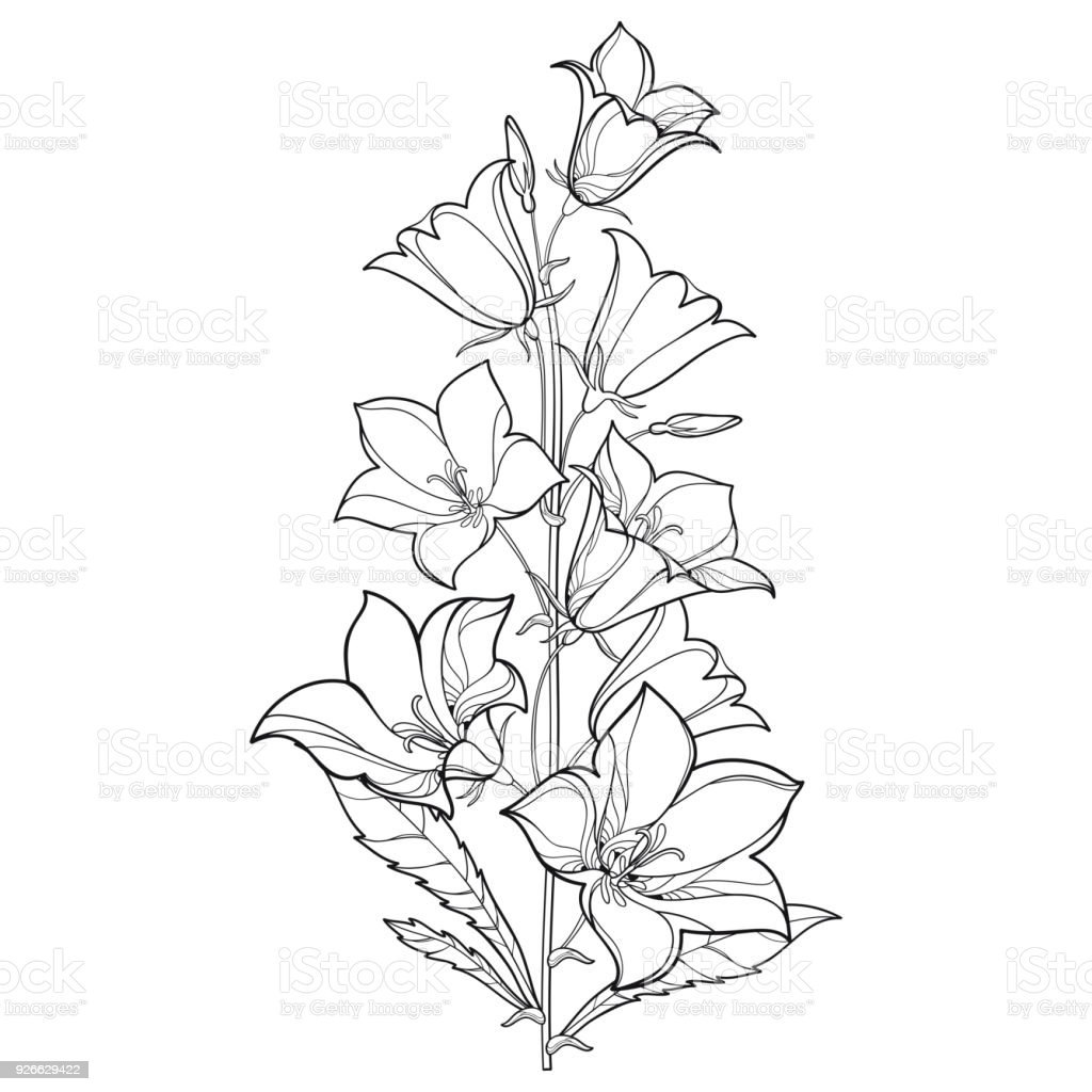 Vector Bouquet With Outline Campanula Or Bellflower Or Bluebell