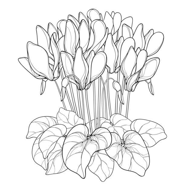 vektor-bouquet mit outline alpenveilchen oder alpine violette blume, knospe und blatt in schwarz auf weißem hintergrund isoliert. - alpenveilchen stock-grafiken, -clipart, -cartoons und -symbole