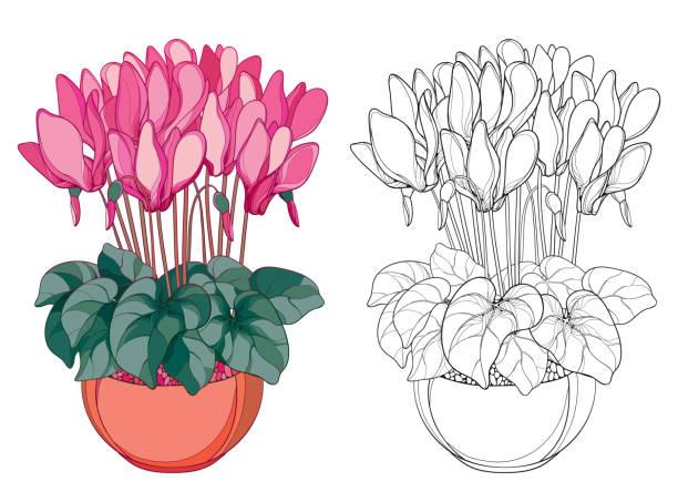 vektor-bouquet mit gliederung alpenveilchen oder alpine violett im runden topf. - alpenveilchen stock-grafiken, -clipart, -cartoons und -symbole