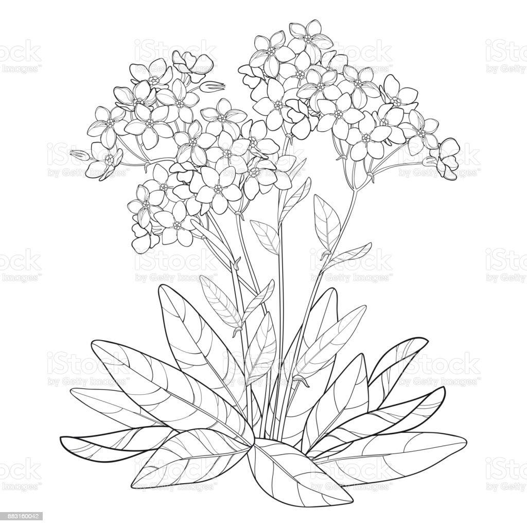 Coloriage Fleur Myosotis.Bouquet De Vecteur Avec Contour Noubliezmoi Pas Ou Fleur De Myosotis