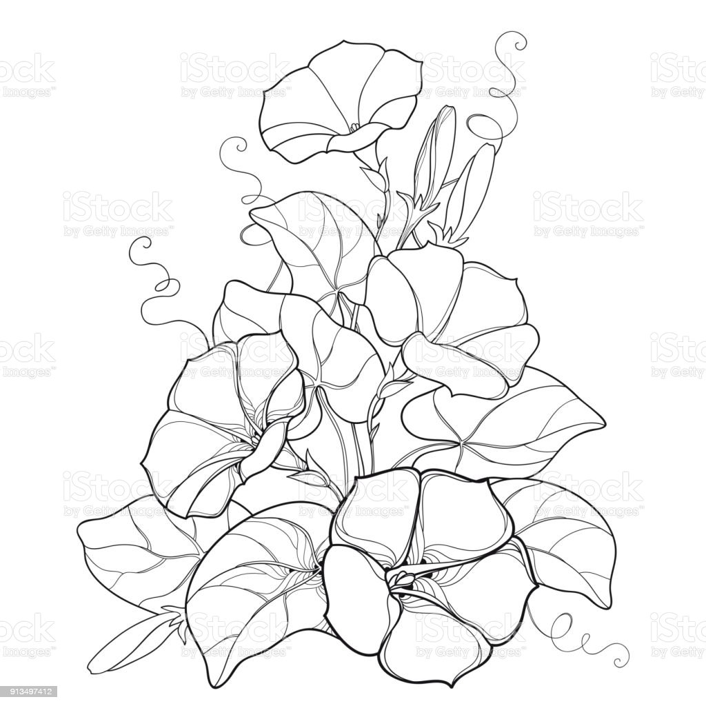 Vector Bouquet With Outline Ipomoea Or Morning Glory Flower Bell