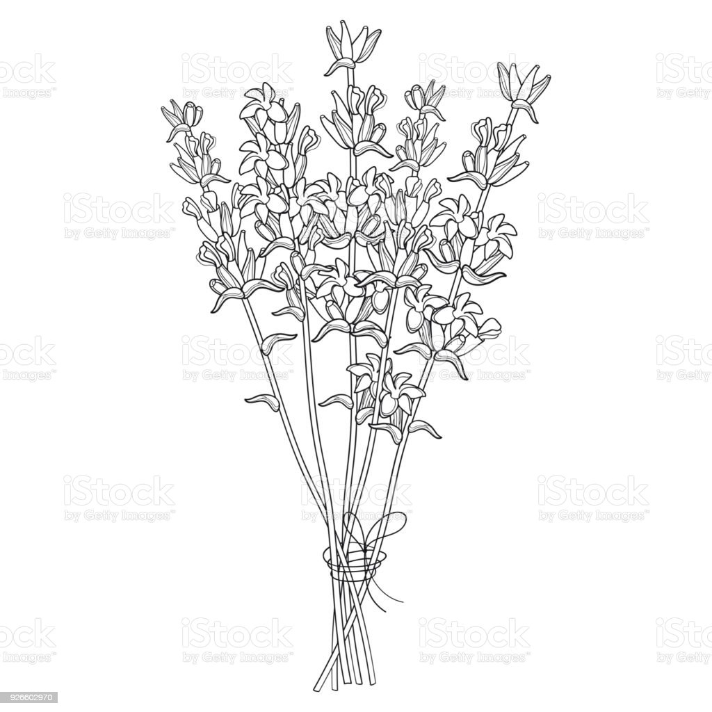 Vector Bouquet With Outline Lavender Flower Bunch And Bud In Black