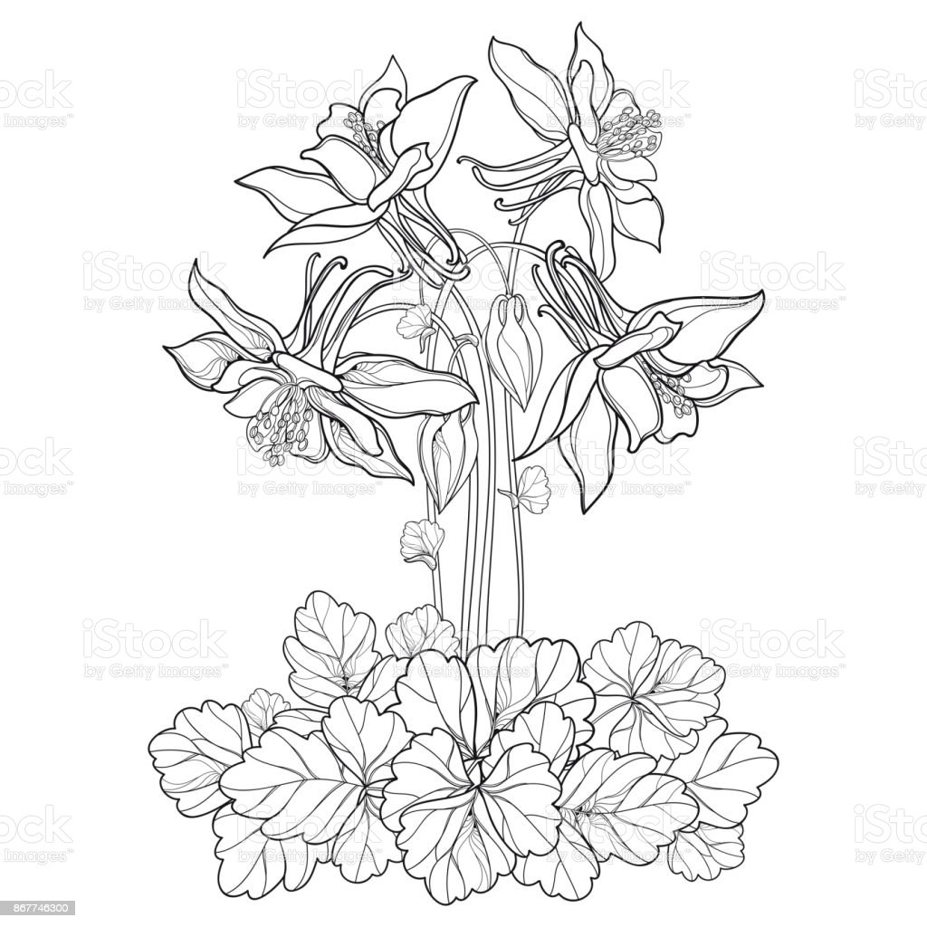 Vector bouquet with outline ornate aquilegia or columbine flower bud vector bouquet with outline ornate aquilegia or columbine flower bud and leaf in black isolated izmirmasajfo