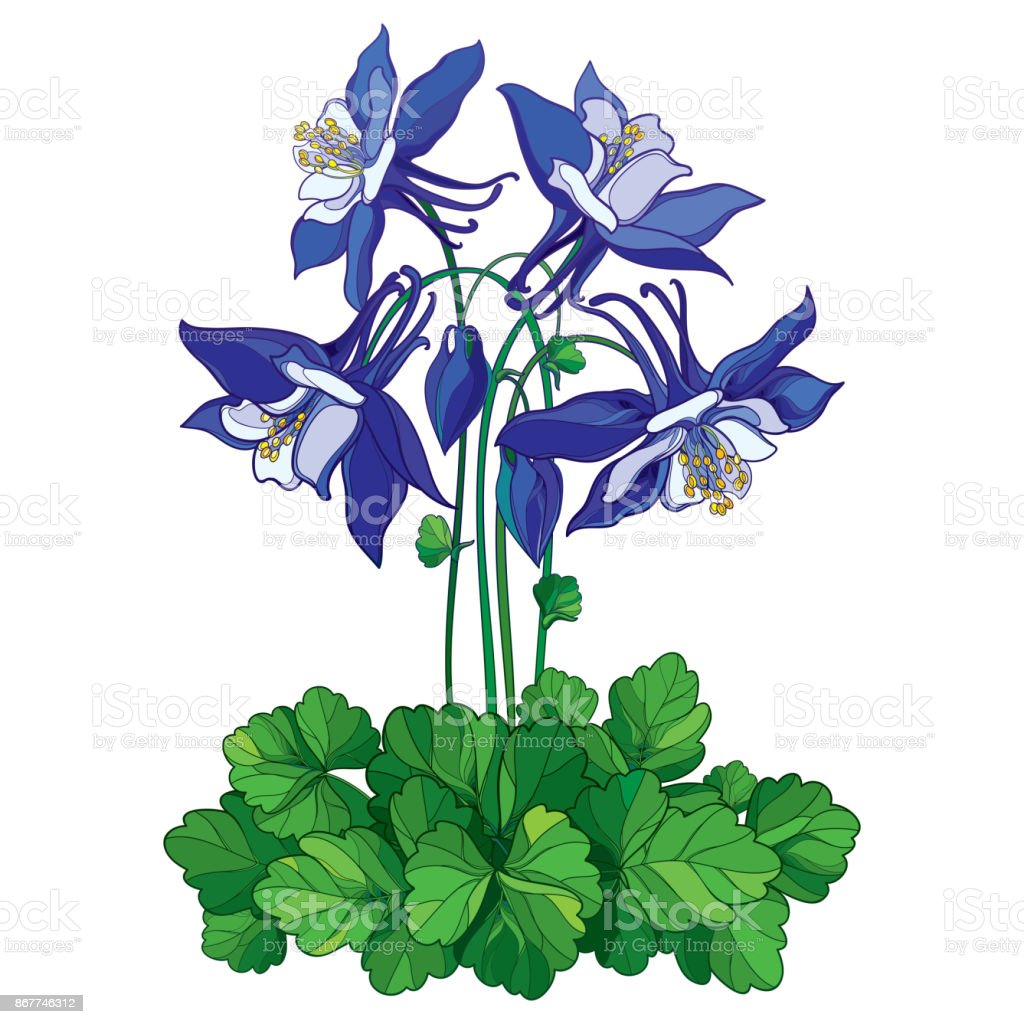 Vector bouquet with outline ornate aquilegia or columbine flower in vector bouquet with outline ornate aquilegia or columbine flower in blue bud and green leaf izmirmasajfo
