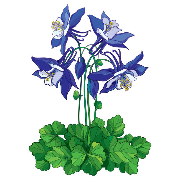 Best Columbine Flower Illustrations, Royalty-Free Vector ...