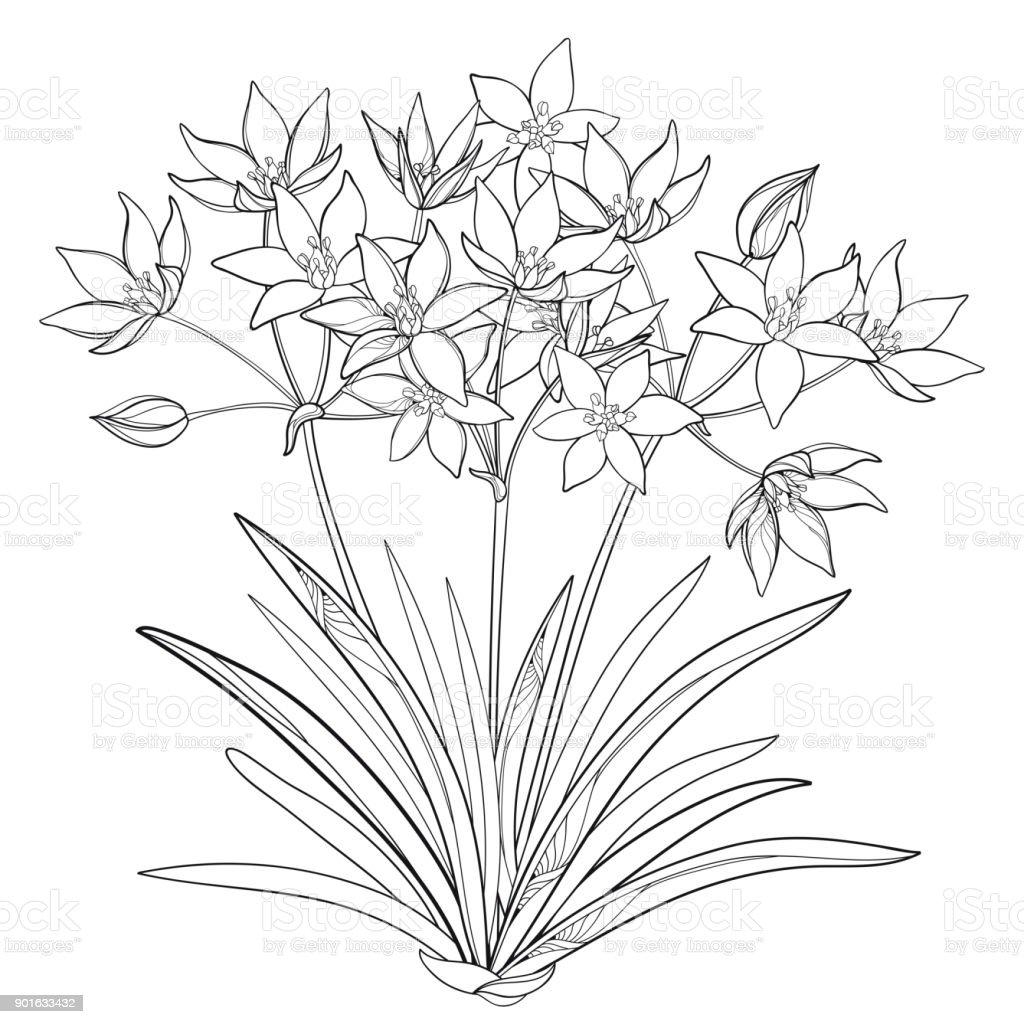 Vector Bouquet With Outline Ornithogalum Or Starofbethlehem Flower
