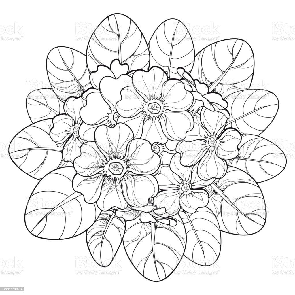 Vektorbouquet mit umriss primula oder primel bl te und for Primule da colorare