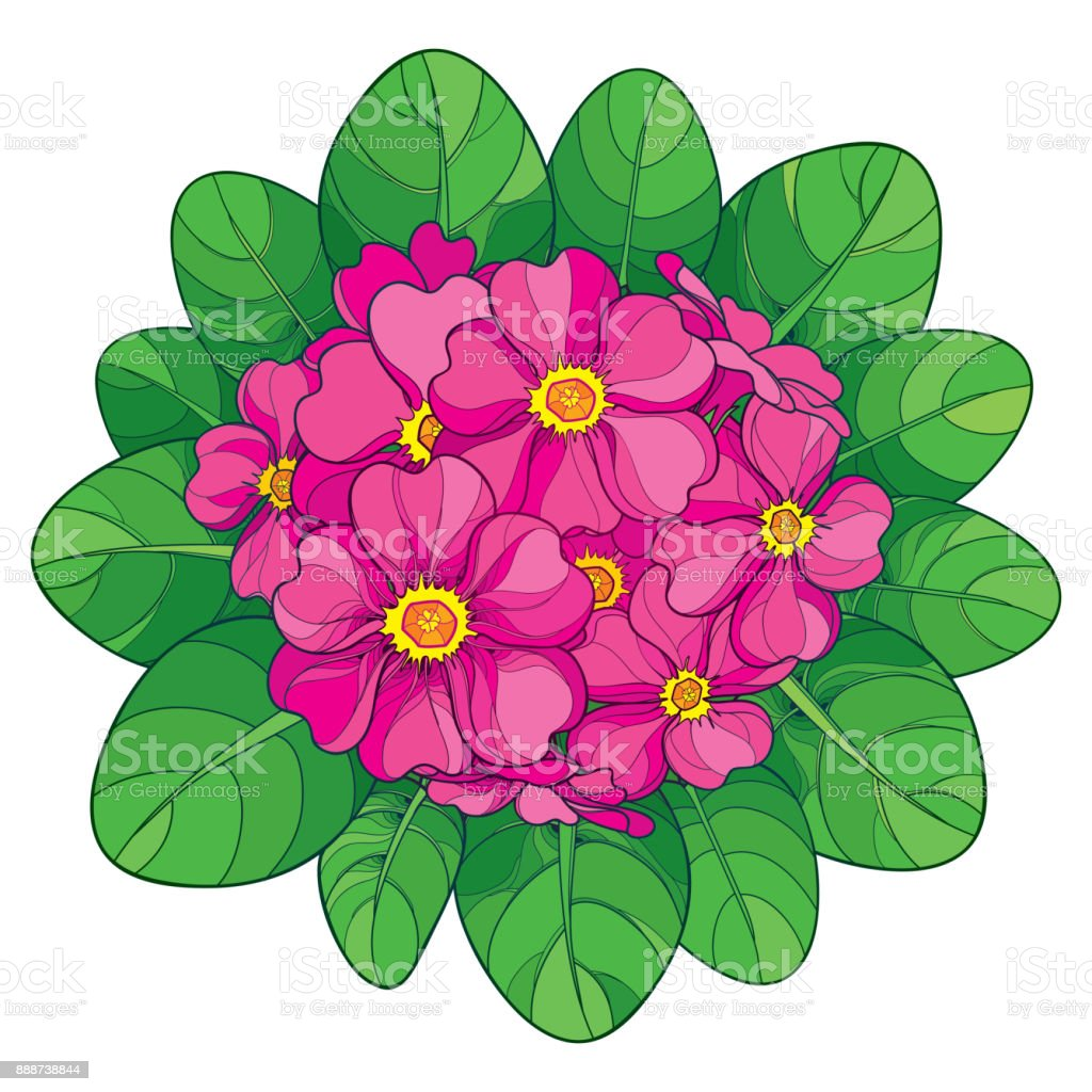 Vector Bouquet With Outline Primula Or Primrose Flower In Pink And