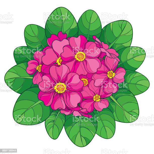 Vector bouquet with outline primula or primrose flower in pink and vector id888738844?b=1&k=6&m=888738844&s=612x612&h=qtehu75hlpra2kli5g1mholq9jjxggt0fzshmet3vy4=