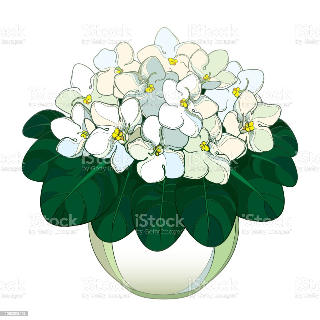 Vector bouquet with outline Saintpaulia or African violet flower in round pot. Pastel white flowers and ornate green foliage isolated on white background.