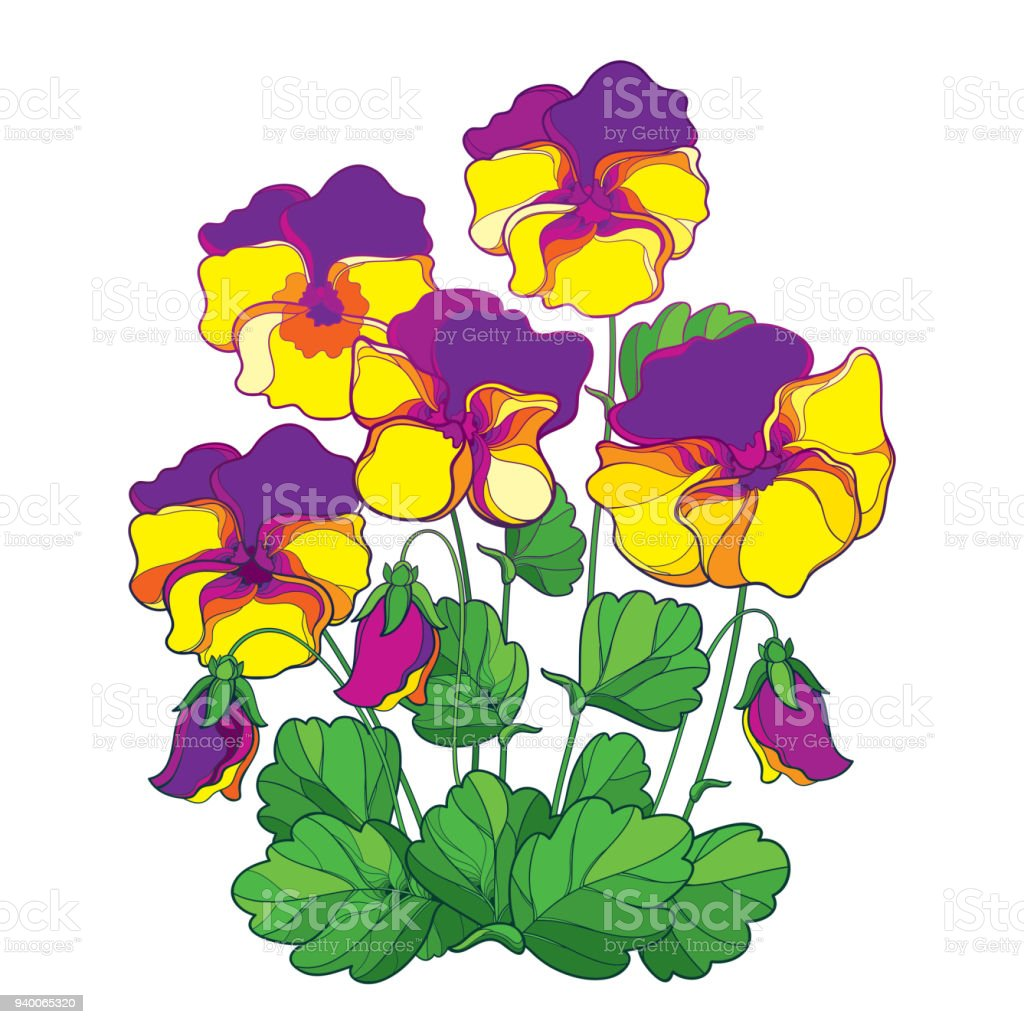royalty free wild pansy clip art vector images illustrations istock rh istockphoto com clipart pansy flowers pansy flower free clipart
