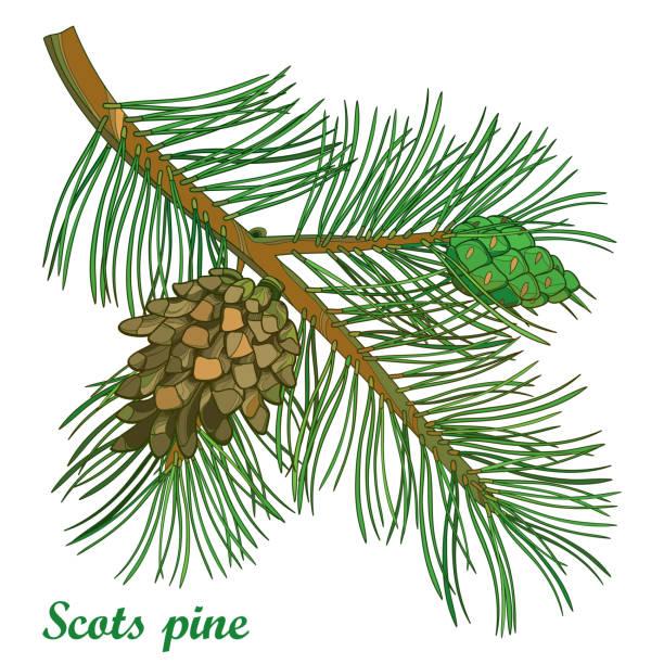 bildbanksillustrationer, clip art samt tecknat material och ikoner med vector gren av disposition tall eller pinus sylvestris träd. gäng, tall och kottar isolerad på vit bakgrund. - fur