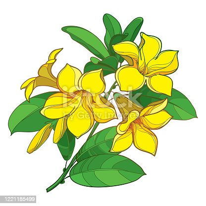 istock Vector branch of outline tropical Allamanda cathartica or yellow trumpet flower bunch, bud and green leaf isolated on white background. 1221185499