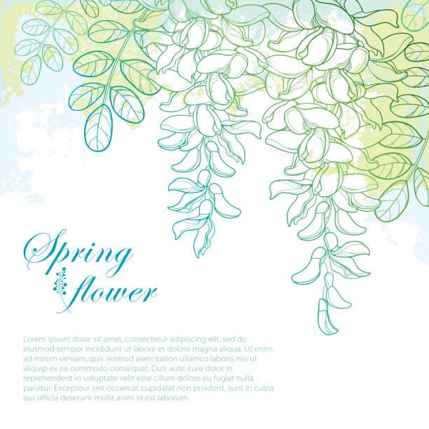 vektor-zweig der umriss weißen false acacia oder robinie oder robinie blume, knospe und blätter auf dem pastell blau-grünen hintergrund. - robinie stock-grafiken, -clipart, -cartoons und -symbole