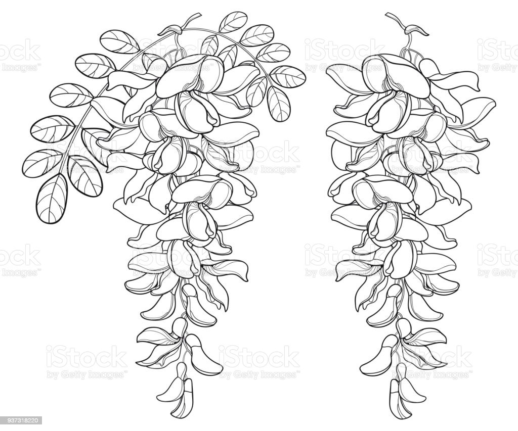 Vector Branch Of Outline White False Acacia Or Black Locust Or