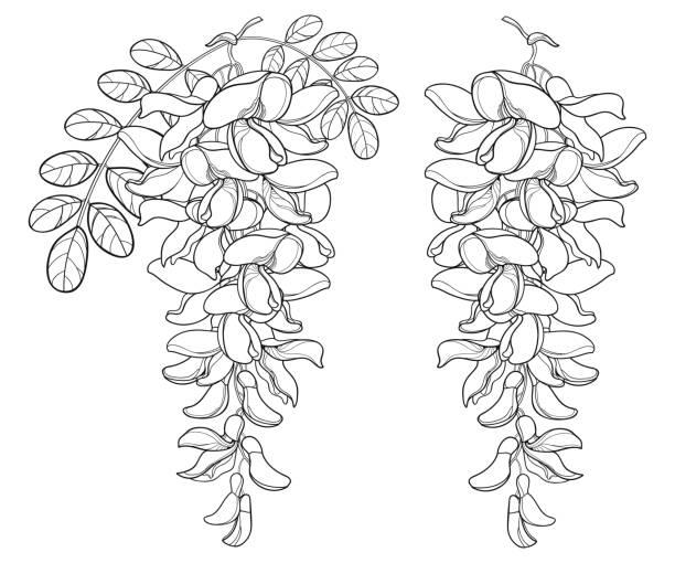 vektor-zweig der umreißen weiße robinie oder robinie oder robinie blume, knospe und blätter in schwarz auf weißem hintergrund isoliert. - robinie stock-grafiken, -clipart, -cartoons und -symbole