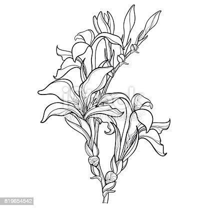 Vector Branch With Outline Canna Lily Or Canna Flower