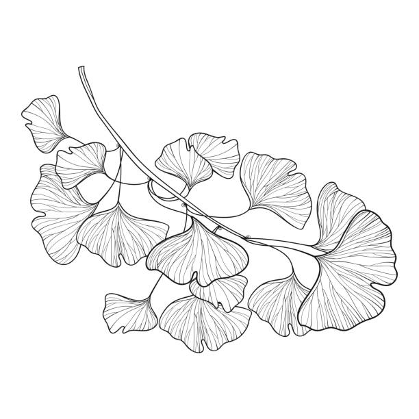 vector branch with outline gingko or ginkgo biloba tree. bunch with ornate leaf in black isolated on white background. - fossilized leaves stock illustrations