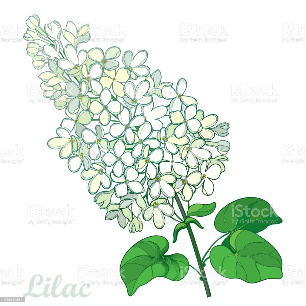 Vector Branch With Outline Pastel White Lilac Or Syringa Flower