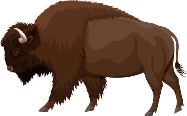 vector brown zubr buffalo bison vector brown zubr buffalo bison american bison stock illustrations