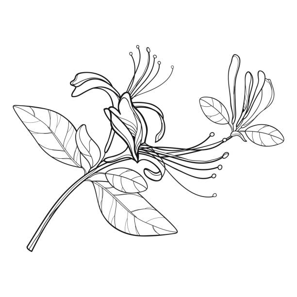 Vector bunch of outline Lonicera or Japanese Honeysuckle with flower, bud and leaf in black isolated on white background. Vector bunch of outline Lonicera or Japanese Honeysuckle with flower, bud and leaf in black isolated on white background. Branch of contour honeysuckle plant for summer design and coloring book. honeysuckle stock illustrations