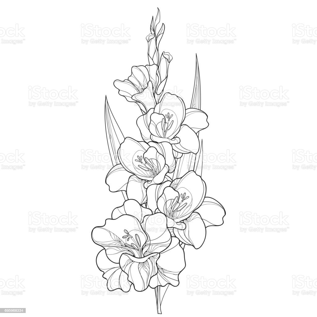 Vector bunch with Gladiolus flower, stem, bud and leaf in black isolated on white background. vector art illustration