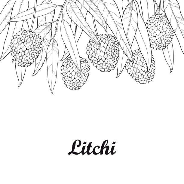Vector bunch with outline Chinese Lychee or Litchi fruit and leaf isolated on white background. vector art illustration