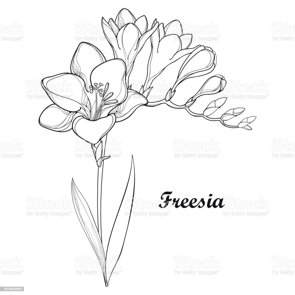 Vector Bunch With Outline Freesia Flower Bud And Ornate Leaf In