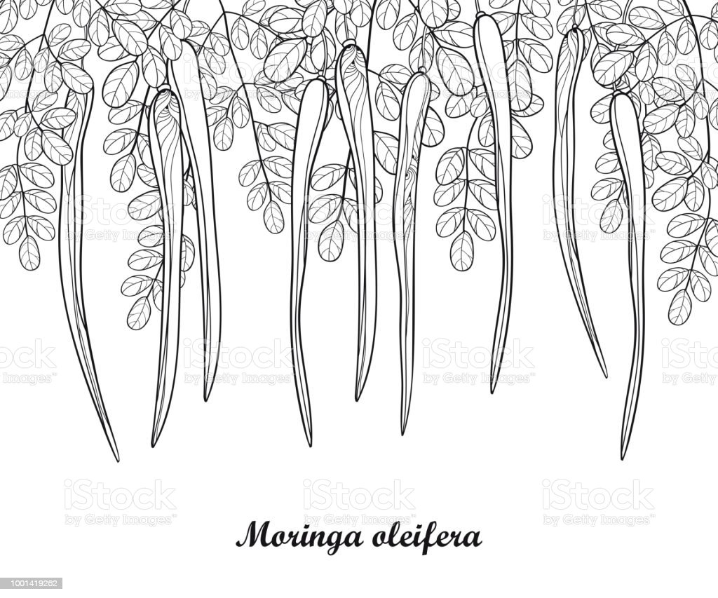 Vector Bunch With Outline Moringa Oleifera Or Drumstick Or