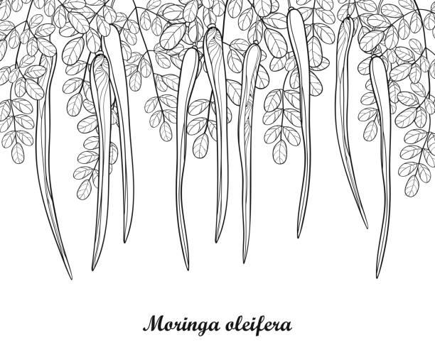 vektor-bündel mit umriss moringa oleifera oder drumstick oder meerrettich baum. zweige mit moringa schoten und kunstvolle blatt in schwarz auf weißem hintergrund isoliert. - wunderbaum stock-grafiken, -clipart, -cartoons und -symbole