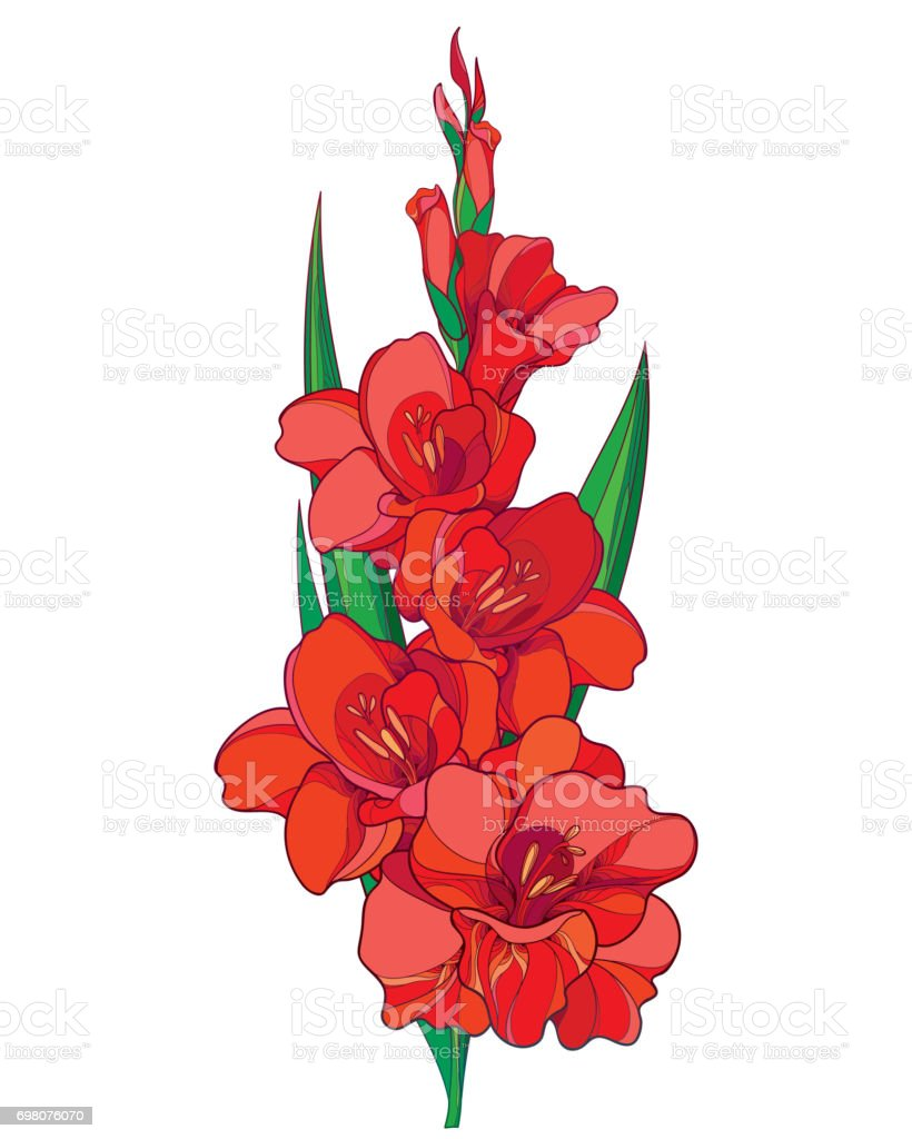 Vector bunch with red Gladiolus flower, stem, bud and green leaves isolated on white background. vector art illustration