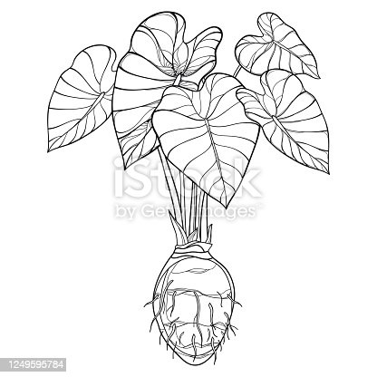 Vector bush of outline tropical plant Colocasia esculenta or Elephant ear or Taro leaf bunch with corm in black isolated on white background. Ornate contour Colocasia for summer coloring book.